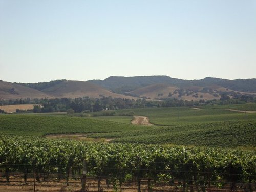 SLO vineyards, a short drive to wine tasting